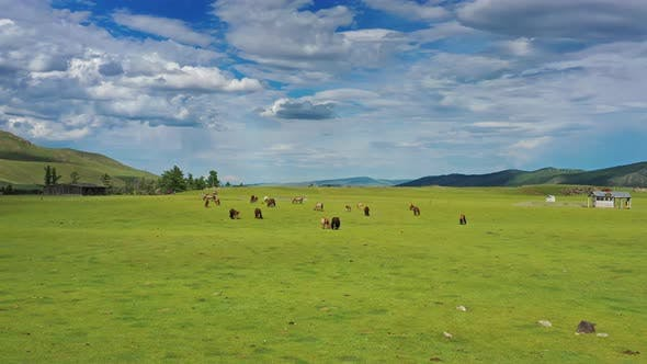 Thumbnail for Aerial View of Grazing Horses in Mongolia