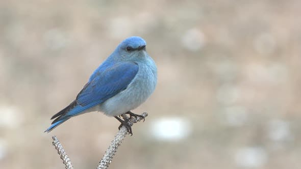 Thumbnail for Mountain Bluebird Male Adult Lone Perched Flying in Spring in South Dakota