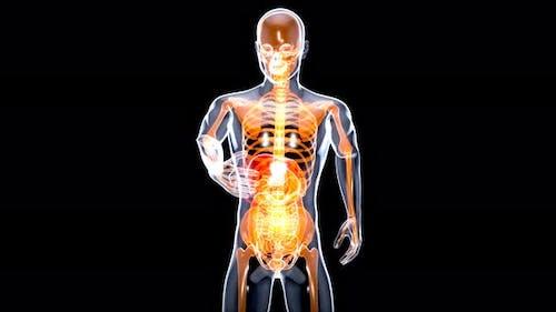 Anatomy concept of a liver