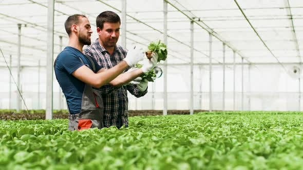 Cover Image for Farm Workers Working in Bright Sunlight in a Greenhouse