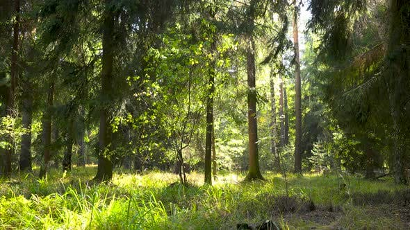 Thumbnail for A Forest on a Sunny Day
