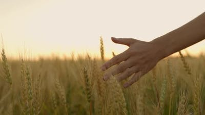 Woman's Hand is Carefully Passing Her Hand Over the Spikelets in a Wheat Field
