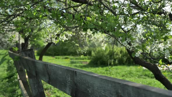 Thumbnail for Booming Cherry Ochard Behind a Wooden Fence