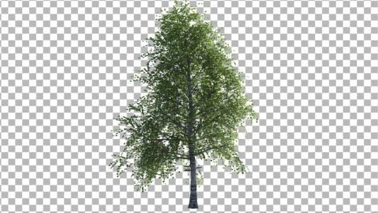 Cover Image for Birch Tree V2