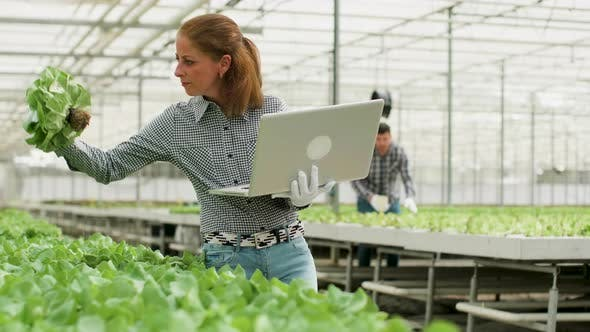 Thumbnail for Agronomy Engineer Inspecting Organic Green Salad in a Greenhouse