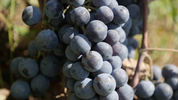Thumbnail for Vineyard and grapes before harvest 4K footage