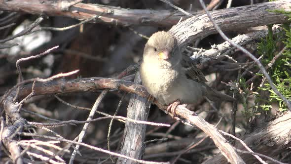 Thumbnail for House Sparrow Immature Juvenile Bird Perched Looking Around and Flying