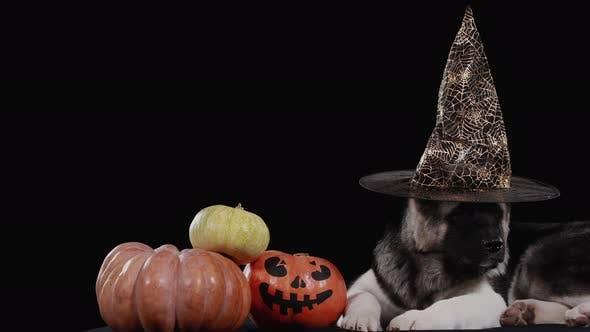 Ein Amerikaner Akita, der einen Halloween-Hut trägt, liegt neben drei Kürbissen, von denen einer ein gruseliges Gesicht hat