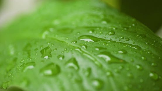 Thumbnail for Water Drops on Leaf Surface