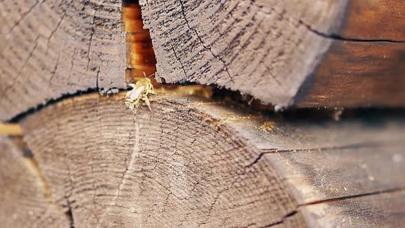 Close-up, Slow Motion: The Wasps Build a Nest, Between the Logs in the Summer House