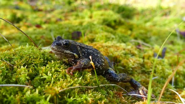 Thumbnail for European common frog at Moysalen National Park