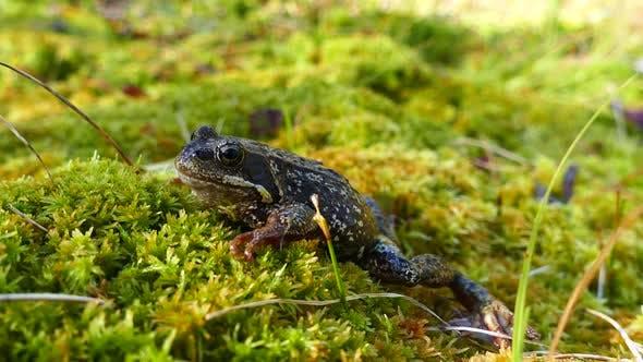 European common frog at Moysalen National Park