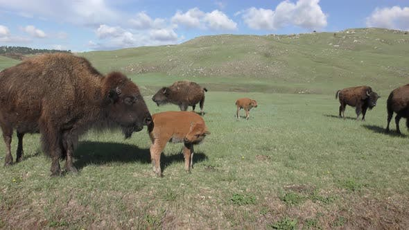 Thumbnail for Bison aka Buffalo Cow and Young Calf Baby Herd in Green Grass Prairie in Spring