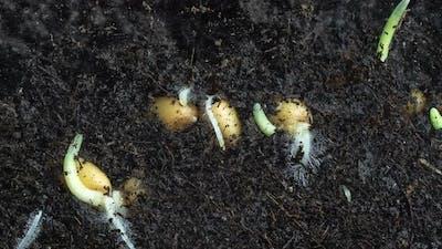 Timelapse Shooting of Wheat Germination in Macro