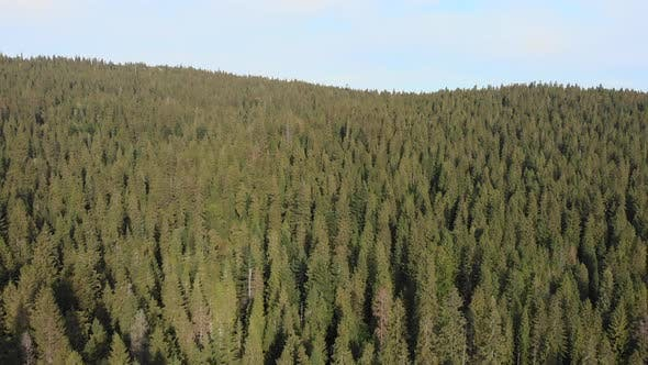 Thumbnail for Drone flying above beautiful green pine trees forest in summer.