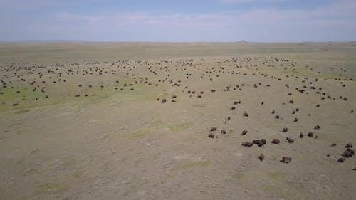 Huge Bison aka Plains Buffalo Herd in Vast Great Plains Landscape in Summer