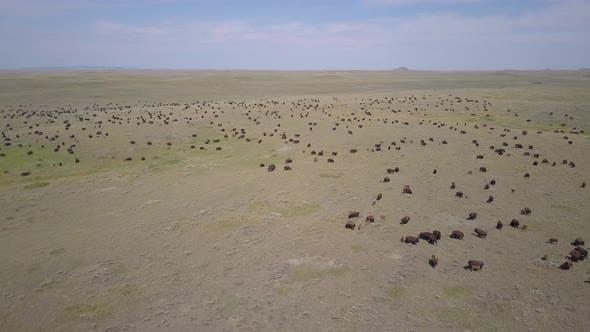 Thumbnail for Huge Bison aka Plains Buffalo Herd in Vast Great Plains Landscape in Summer