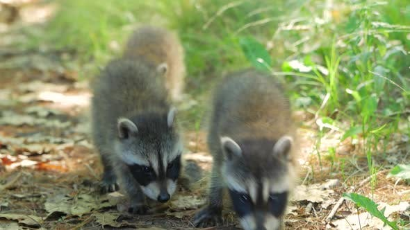 Thumbnail for 3 Cute Baby Raccoons Walk Towards Camera On Dirt Ground In Summer