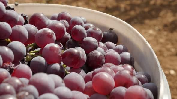 Thumbnail for Harvested Vitis vinifera fruit close-up 4K 2160p 30fps UltraHD footage - Shallow DOF backet of juicy