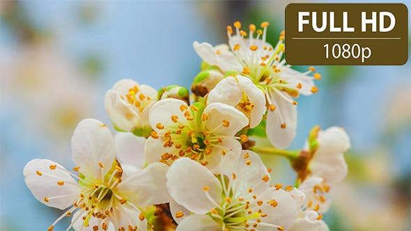 Thumbnail for Wild Plum Flower Time Lapse