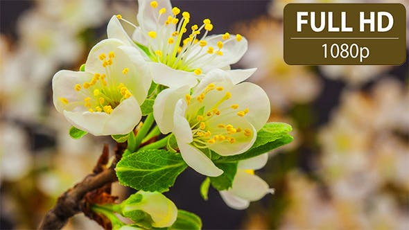 Thumbnail for Plum Flower Time Lapse
