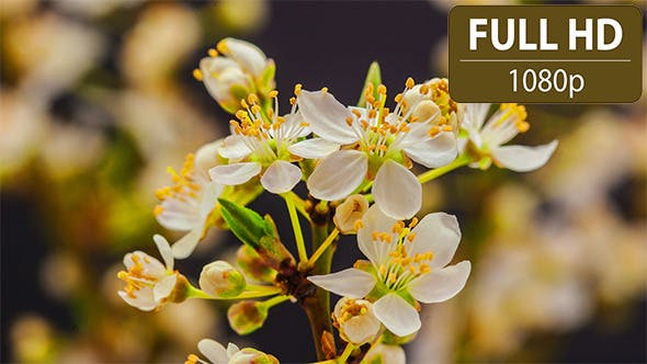 Thumbnail for Wild Plum Flowering