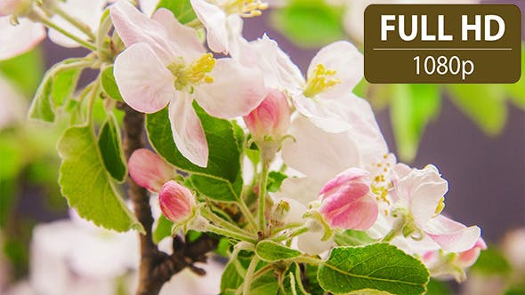 Thumbnail for Apple Flower Blossoms