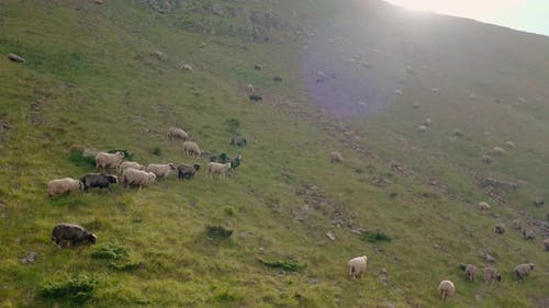 Aerial Drone View. Free Range Flock of Sheep on a Mountain Pasture, Svydovets Dragobrat V4