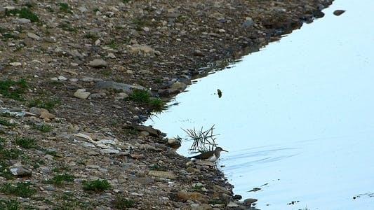 Thumbnail for Common Sandpiper (Actitis Hypoleucos)
