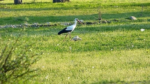 Stork (Ciconia) 2