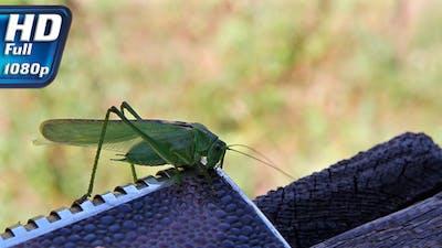 Omnivorous Locust