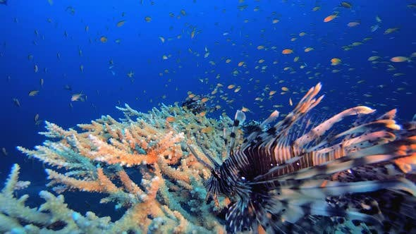 Thumbnail for Underwater Red Sea Lionfish