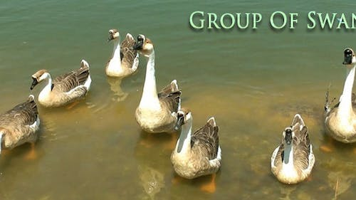 Group of Swans