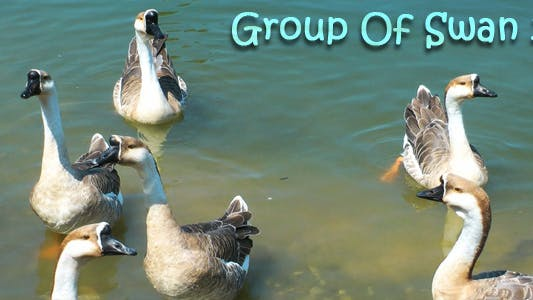 Thumbnail for Group of Swan 2