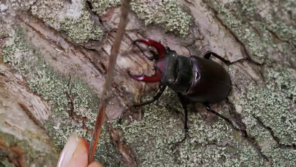 Insect Stag Beetle on the Old Tree