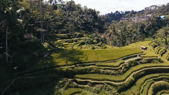 Thumbnail for Balinese Rice Fields