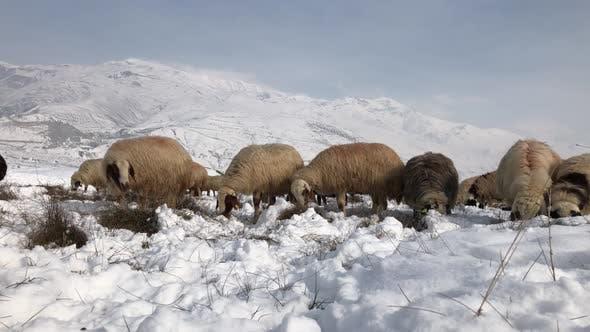 Thumbnail for Flock Sheep Snow