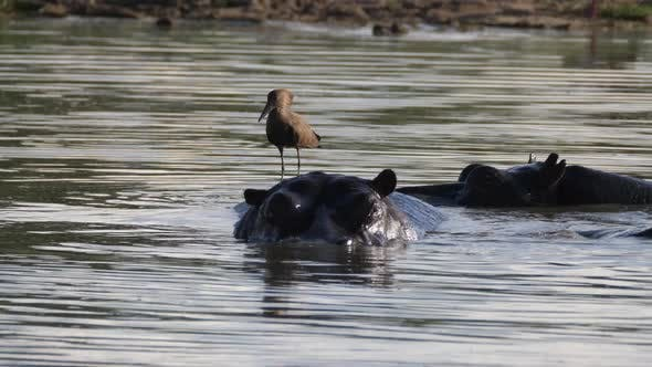 Thumbnail for Hamerkop on the back of a Hippopotamus