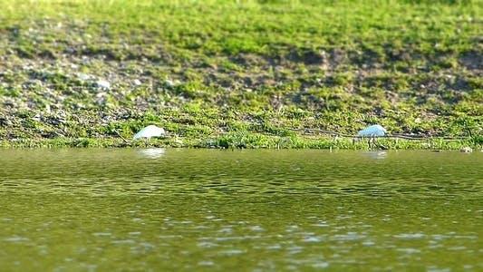 Thumbnail for Little Egret (Egretta Garzetta) Miniature Effect