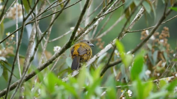 Thumbnail for Passerini's Tanager Female Bird in the Rain Forest