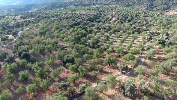 Thumbnail for Sparse Orchard in Arid Hot Climate