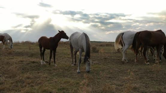 Wild Horses Graze At Sunset
