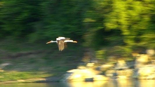 Stork (Ciconia) 6