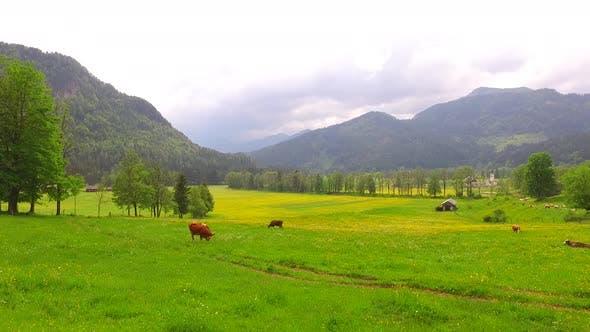 Cows Grazing Green Grass Under Mountains