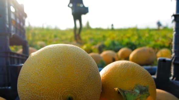 Trabajadores de recolección de melones de stockvideo en Envato ...