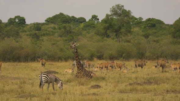 Common eland herd, a giraffe and zebras