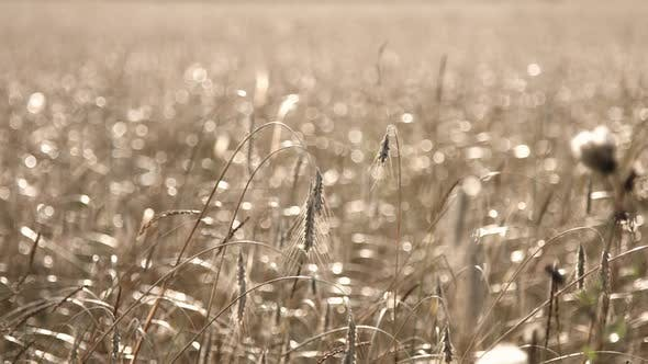 Thumbnail for Organic Rye Field With Bokeh