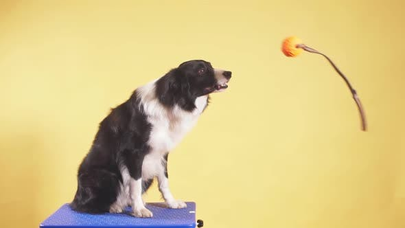 Thumbnail for Cute Dog Having Fun with a Toy