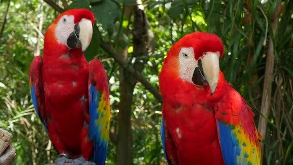 Thumbnail for Deux perroquets Ara écarlate