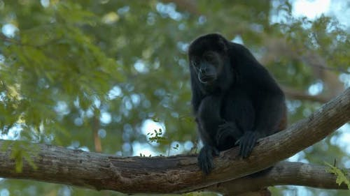 Mantled Howler Monkey Lone Yawning Open Mouth Dawn Morning in Costa Rica